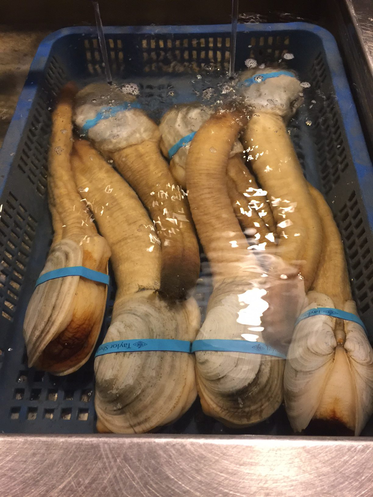 Seattle | Taylor Shellfish | Geoduck Clams